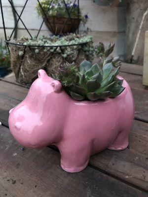Succulent in Hippo Pot for Sale in Tucson, AZ