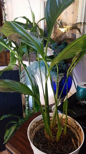 5 dollar plants or 2 for 8 indoor for Sale in Colorado Springs, CO