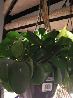 "8"" Hanging Money Plant~ Pilea (Full Of Babies🥰) for Sale in Kent,  WA"