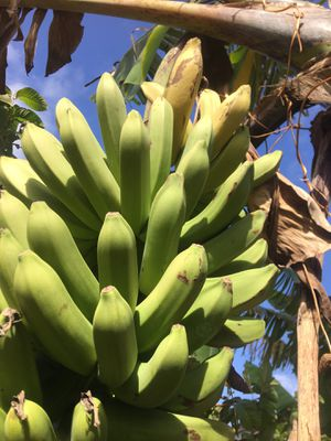 Yellow banana inthe tree verry sweet and organic for Sale in Delray Beach, FL