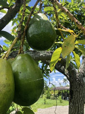 For Sale Avocado Simmons , $25 por 50 libra caja asemos Delivery for Sale in Miami, FL