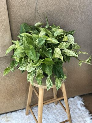"8"" Marble Queen Pothos Hanging Plant for Sale in Chula Vista, CA"