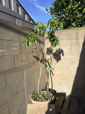 5 ft tall Lychee tree $ 80 for Sale in Westminster, CA