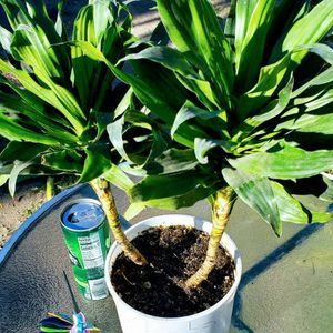 Dracaena Plant Air Purifier for Sale in Fountain Valley, CA