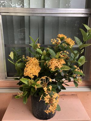 IXORA MAUI YELLOW ( All year round flowering in 3 gallon pot) for Sale in Pembroke Park, FL