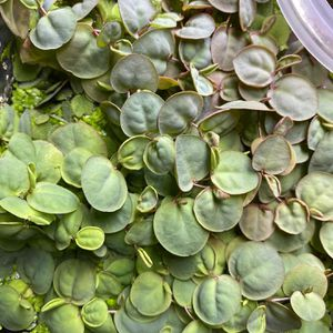 Red Root floaters, Salvinia Minima, Duckweed, Flame Moss and Fissidens Fontanus pads, Ramshorn Snail, Malaysian Trumpet Snails for Sale in Huntington Beach, CA