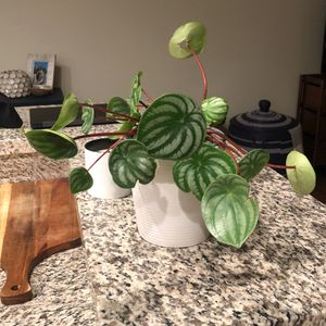Watermelon Peperomia Plant For Sale for Sale in Los Angeles, CA