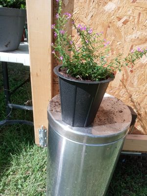 Mexican heather in black pot for Sale in Plant City, FL