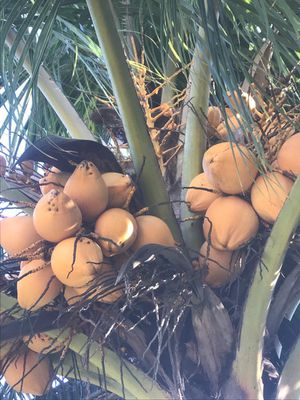 Cocos for Sale in Port St. Lucie, FL