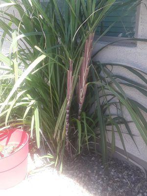 Freshly cut stock of purple sugarcane for Sale in Phoenix, AZ