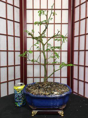 Bonsai: Brazilian Raintree for Sale in Malden, MA