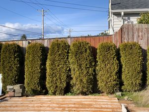 FREE arborvitae!!! Must dig out for Sale in Tacoma, WA