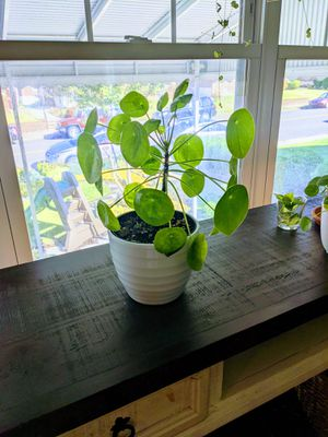 "Pilea peperomioides 6"" Chinese Money Plant Alive House for Sale in Philadelphia, PA"
