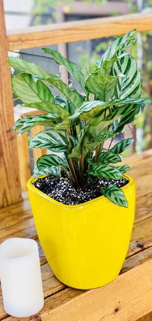 Live indoor Calathea Freddie house plant in a ceramic planter flower pot—firm price for Sale in Renton, WA