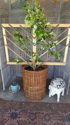Organic Orange tree for Sale in South Pasadena, CA