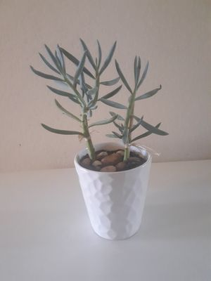 Real succulent. 2 plants in pot. Pick up for Sale in Reedley, CA