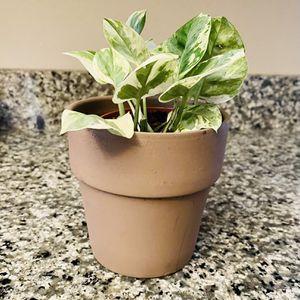 Lovely Pothos N Joy Plant In Grey Terra Cotta Pot 😍 for Sale in Chesapeake, VA