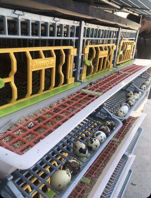 Quail eggs 🥚 for Sale in Santa Maria, CA