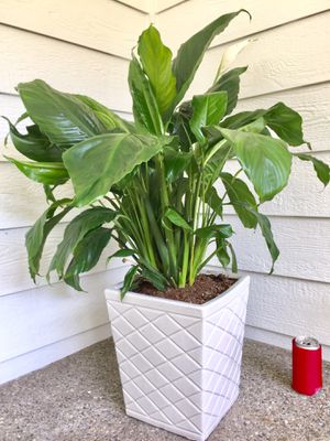 Real Indoor Houseplant - Giant Peace Lily Flower Plants in Square Ceramic Planter Pot for Sale in Auburn, WA