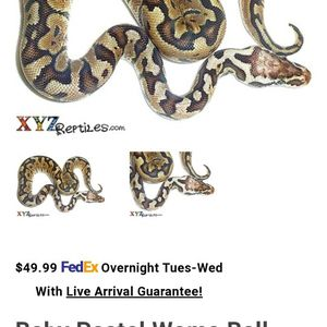 Pastel Woma Ball Python for Sale in Hudson, FL