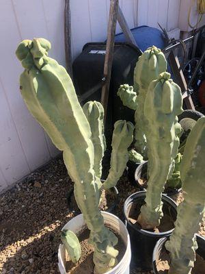 Cactus for Sale in Glendale, AZ