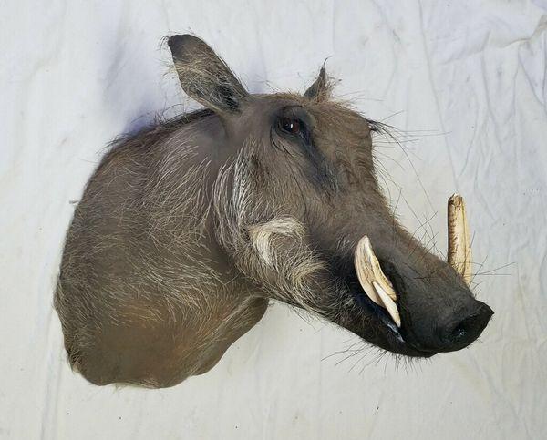 Warthog African Mount