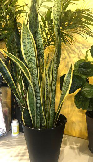 Snake plant for Sale in Pico Rivera, CA