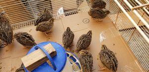 Jumbo Coturnix quails for Sale in Rancho Cucamonga, CA