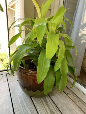 Large Dracaena Limelight plant in pot for Sale in Virginia Beach, VA