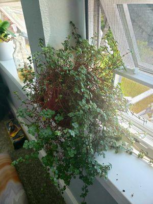 Indoor Vine Plant for Sale in Gig Harbor, WA