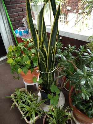 Beautiful indoor healthy plants for Sale in NEW KENSINGTN, PA