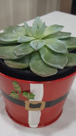 Houseplant/ Blue Echeveria Succulent In Double Pot 5'H for Sale in Everett,  WA