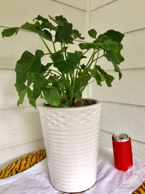 Real Indoor Houseplant - Philodendron Selloum Plants in Diamond Striped Ceramic Planter Pot for Sale in Auburn, WA
