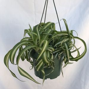 curly spider plant for Sale in Lynwood, CA