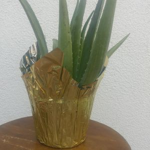 Aloe Vera 6in for Sale in Los Angeles, CA