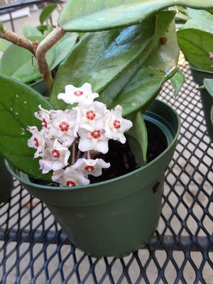 Hoya Carnosa, l have 5pots ,but not the flower one, 6$ each pot for Sale in Anaheim, CA