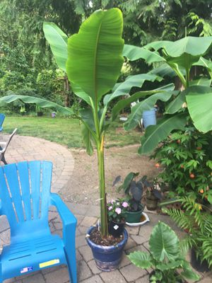 Cold hardy banana plant for Sale in Woodinville, WA