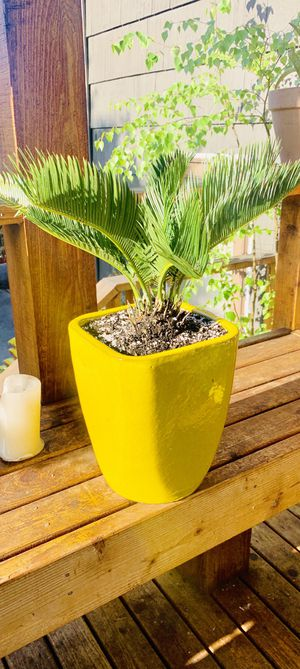 Live outdoor (or indoor) Sago Palm house plant in a ceramic planter flower pot—firm price for Sale in Seattle, WA