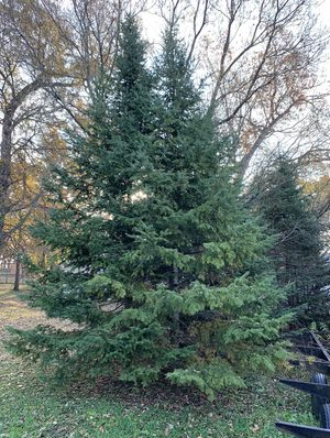 Merry Christmas 🎄 🎁. Real Christmas Trees for sale get your pick from the low $400.00 for Sale in Chicago, IL