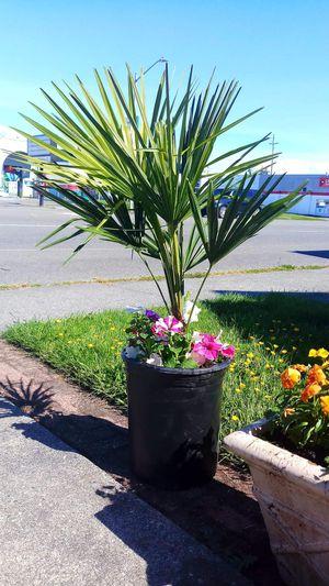 Beautiful windmill palm trees for Sale in Everett, WA