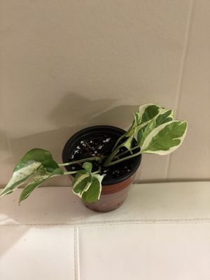 Mini Pothos n Joy plant in 3 inch pot for Sale in Santa Rosa, CA
