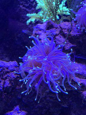 Single Headed Torch Coral Frag for Sale in San Diego, CA