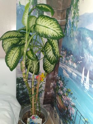Real Indoor Plant for Sale in Pumpkin Center, CA