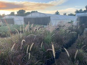 PURPLE FOUNTAIN GRASS ⛲️🌾 for Sale in Phoenix, AZ