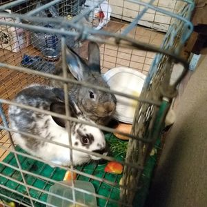 2 Bunnies With Cage for Sale in Byron, CA