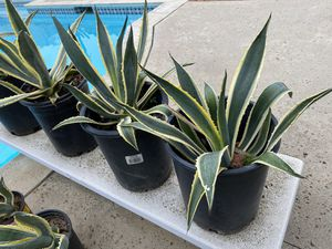 Agave, agave American, agave plant, plants, succulents, cactus, potted plants for Sale in Los Angeles, CA