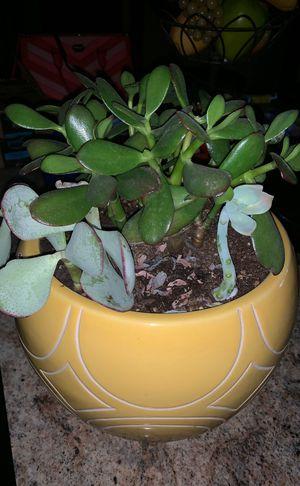 Succulent real for Sale in Phoenix, AZ