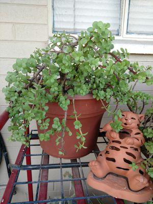 Elephant Ear Succulent plant for Sale in Phoenix, AZ