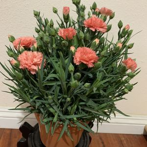 """Carnation plants in 6"""" pot with orange and purple flowers for Sale in Westminster, CA"""