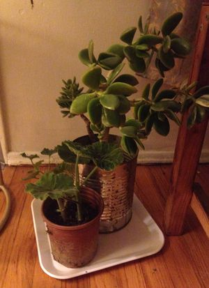 Succulent plants for Sale in Los Angeles, CA